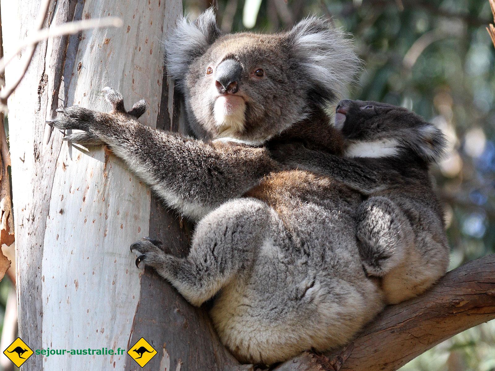 Carte virtuelle anniversaire koala zeeep web - Koala et boowa ...
